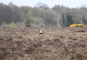 Curlew in the Bog of Allen Kildare