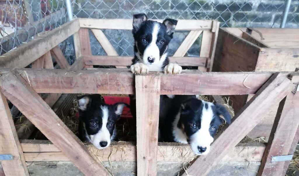 Irish Working Sheepdogs 1