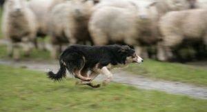 Perros de pastor irlandeses 10