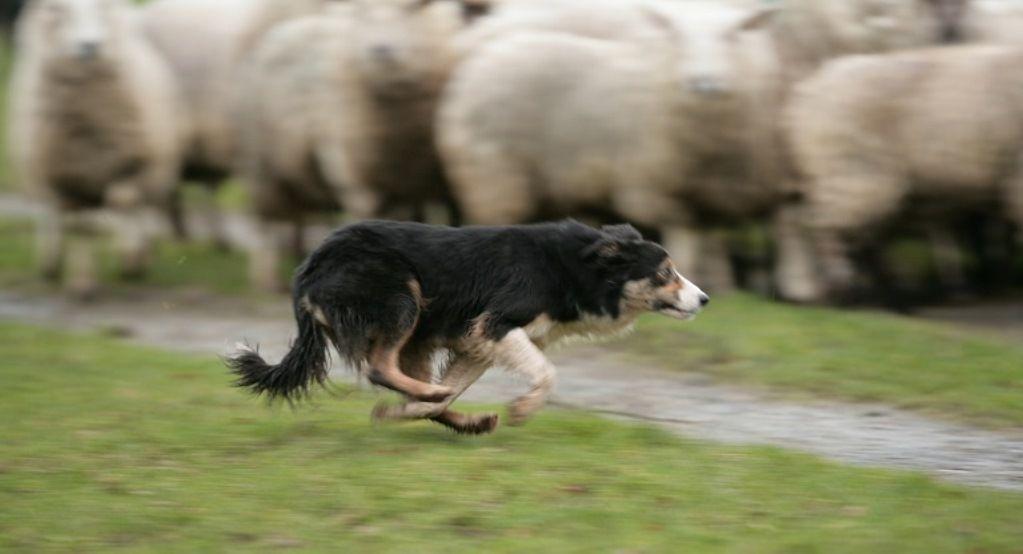 Cão pastor irlandês 10