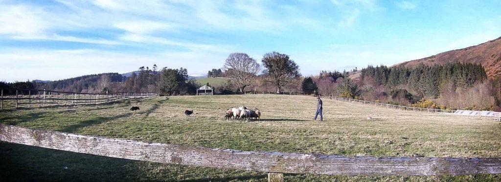 Irish Working Sheepdogs 3