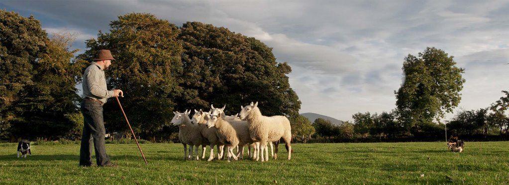 Irish Working Sheepdogs 4
