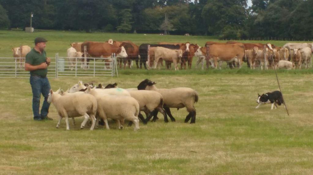 Irish Working Sheepdogs 5