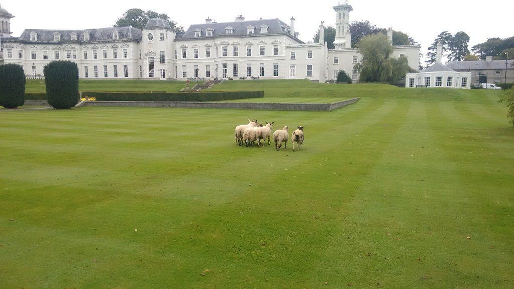 Irish Working Sheepdogs 7